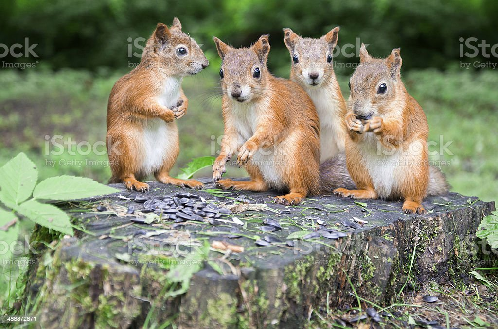squirrels royalty-free stock photo