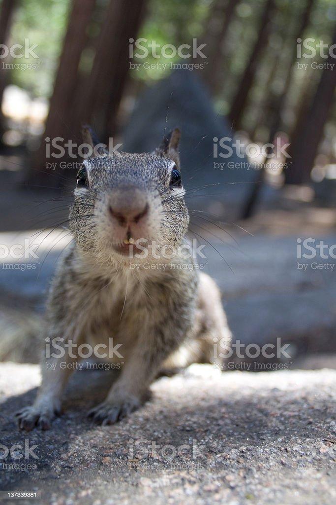 Squrrel Face stock photo