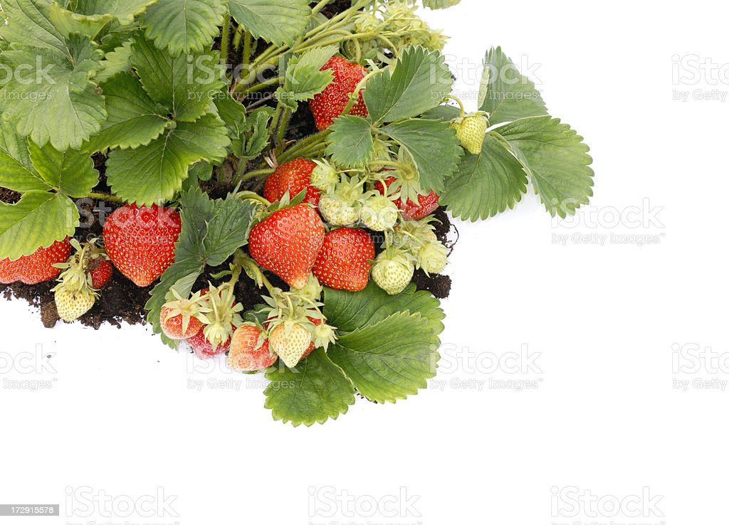 srawberry bed royalty-free stock photo