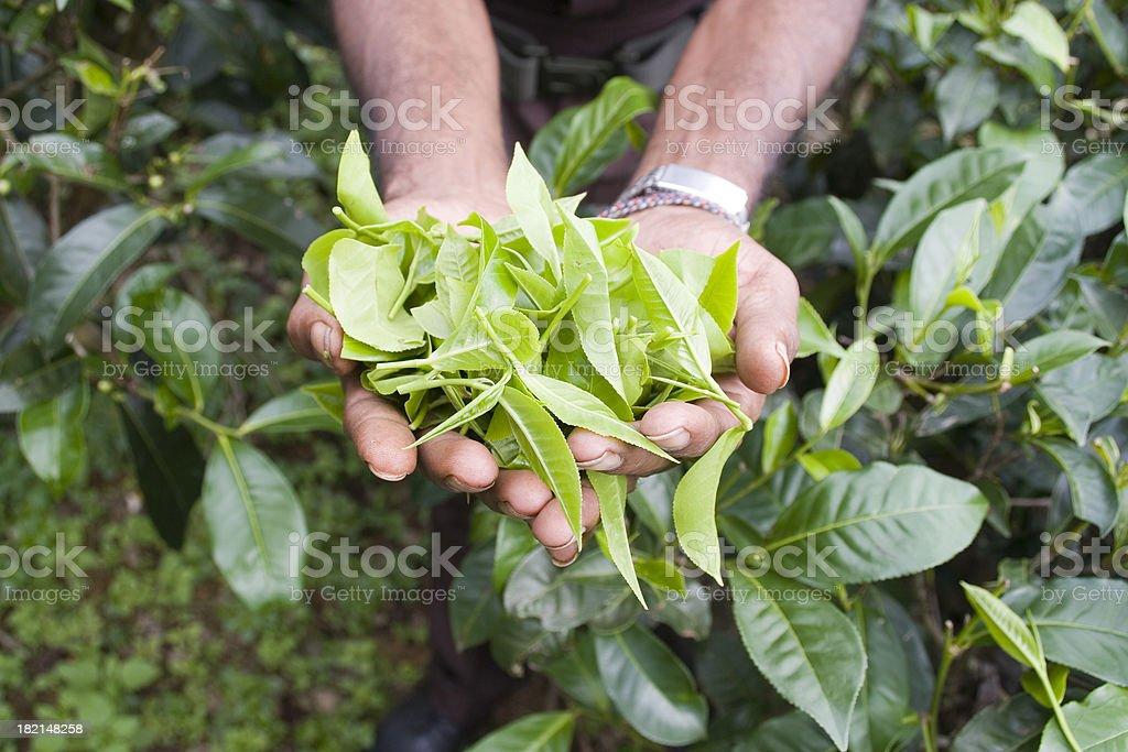Sri Lanka: Green Tea Leaves royalty-free stock photo