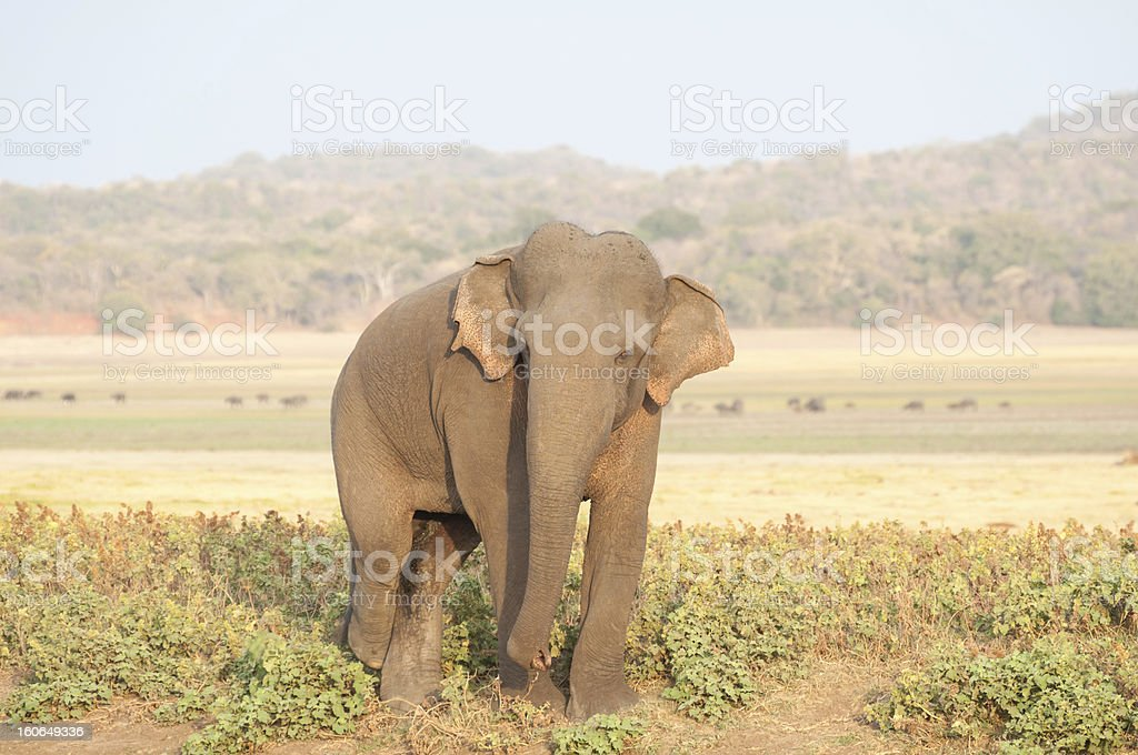 Sri Lankan elephant grazing in the grassland. royalty-free stock photo