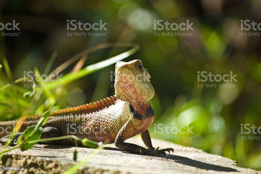 Sri Lankan lizard stock photo