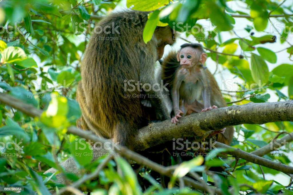Sri Lankan Monkeys At Yala National Park stock photo