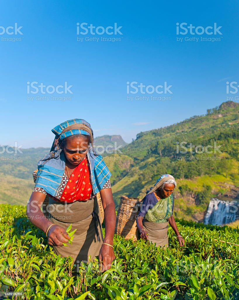 Sri Lankan tea pickers royalty-free stock photo