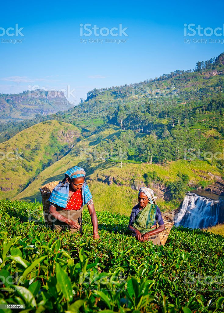 Sri Lankan Women Picking Tea Leaves Concept stock photo