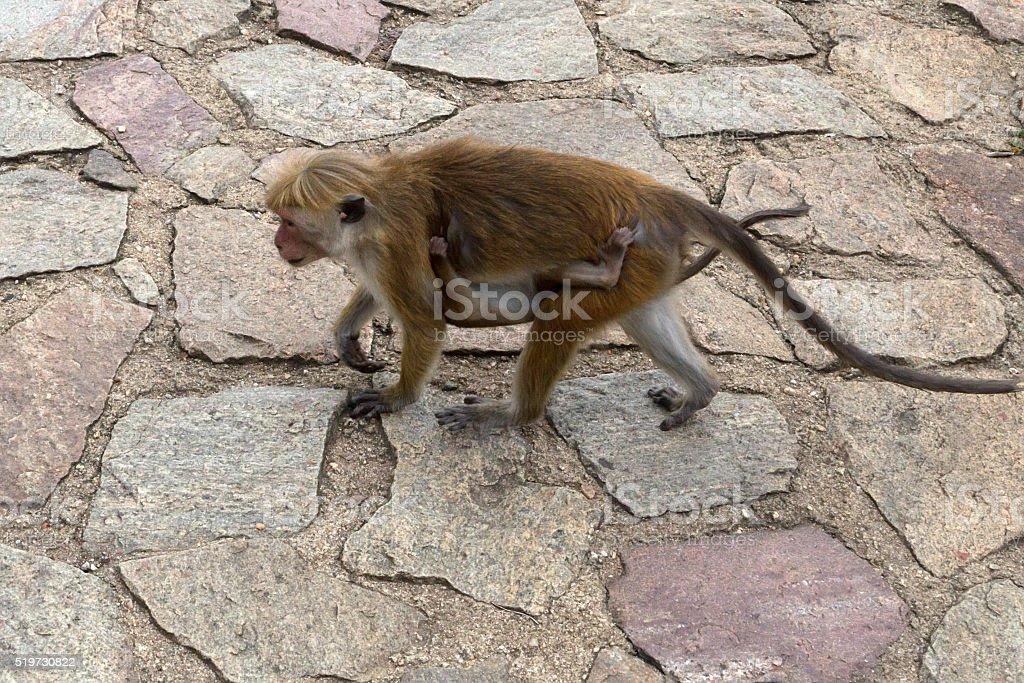 Sri-Lankan toque macaque (Macaca sinica) stock photo