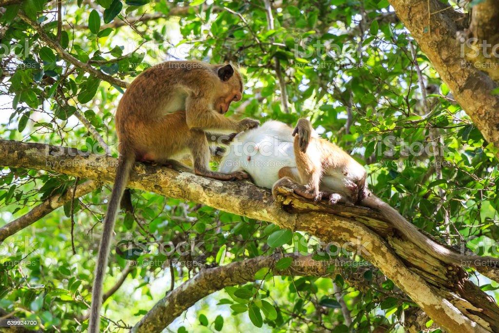 Sri-Lankan toque macaque stock photo