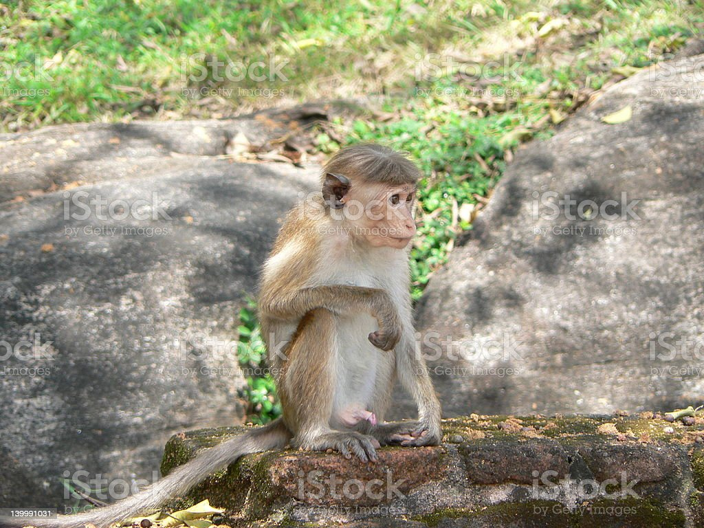 Sri-Lankan Toque Monkey stock photo