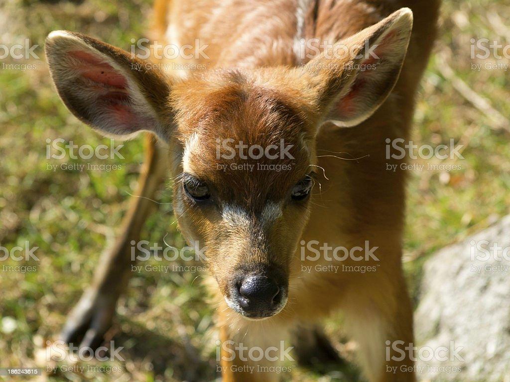 s?sse antilope stock photo