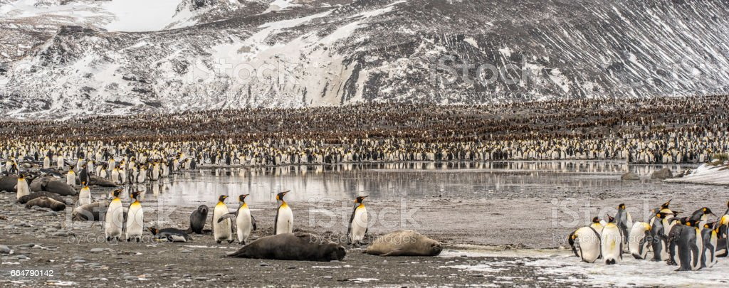 St. Andrews Bay King Penguins, South Georgia Island stock photo
