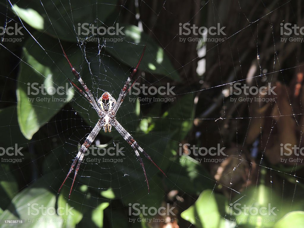 St Andrew's Cross spider royalty-free stock photo