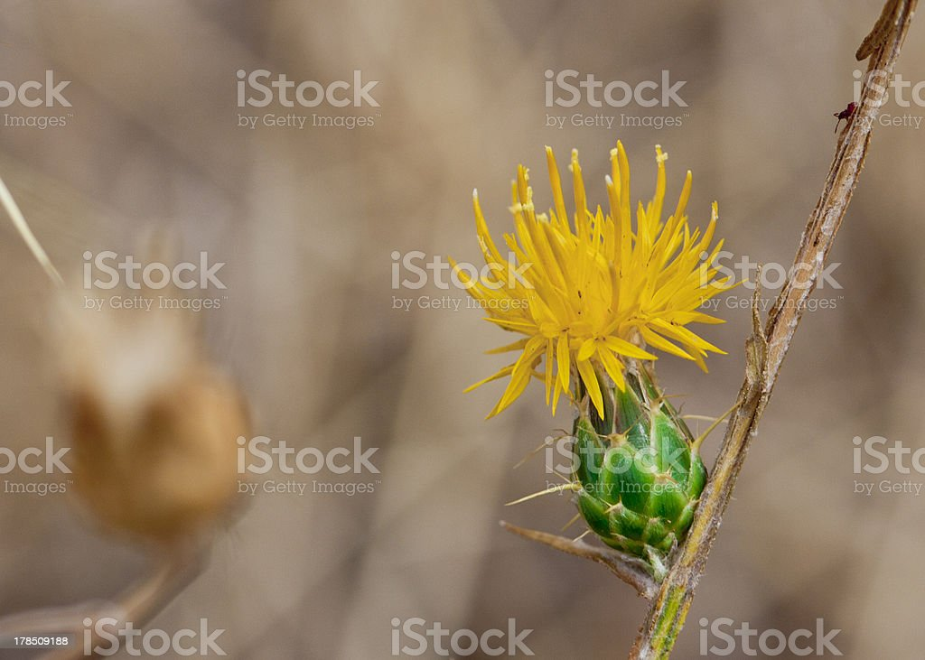 St. Barnaby's Thistle royalty-free stock photo