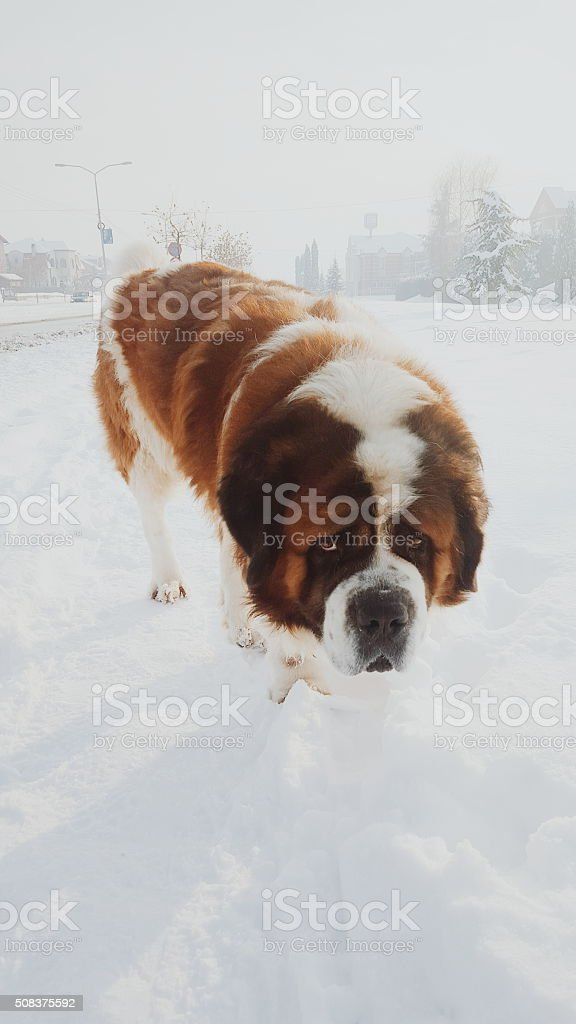 St Bernard dog in the snow stock photo