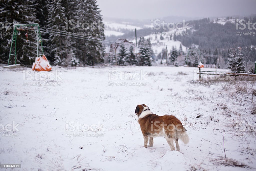 St. Bernard dog looks into the distance of the ski slopes stock photo
