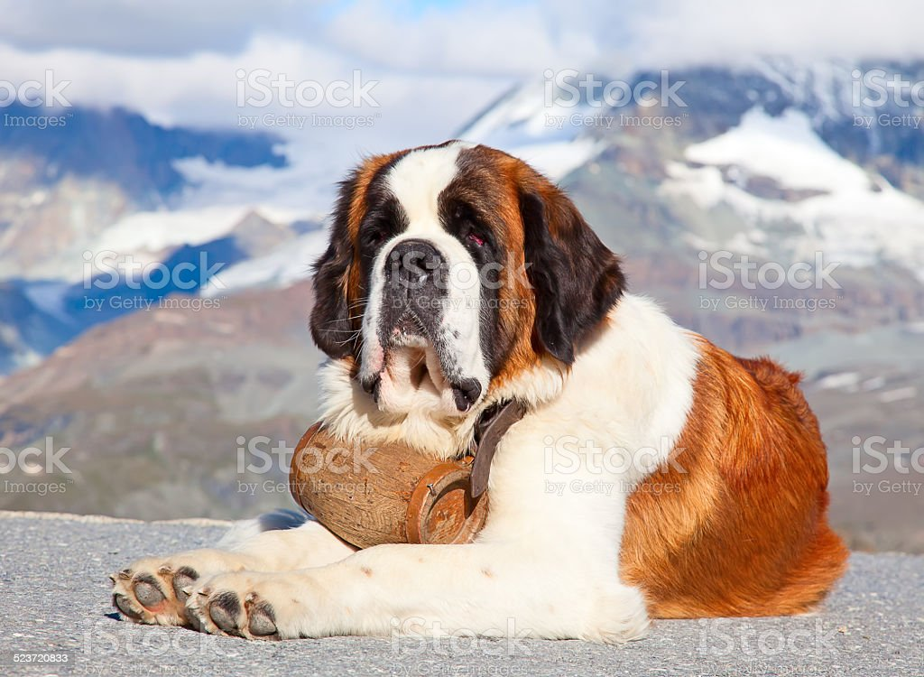 St. Bernard Dog stock photo