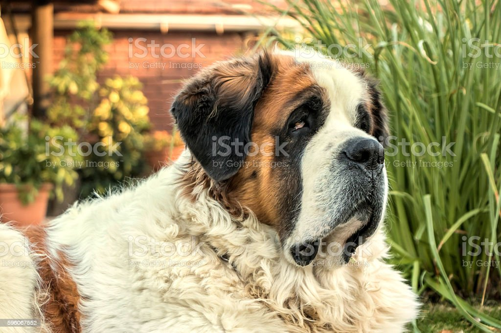 St. Bernard dog stock photo