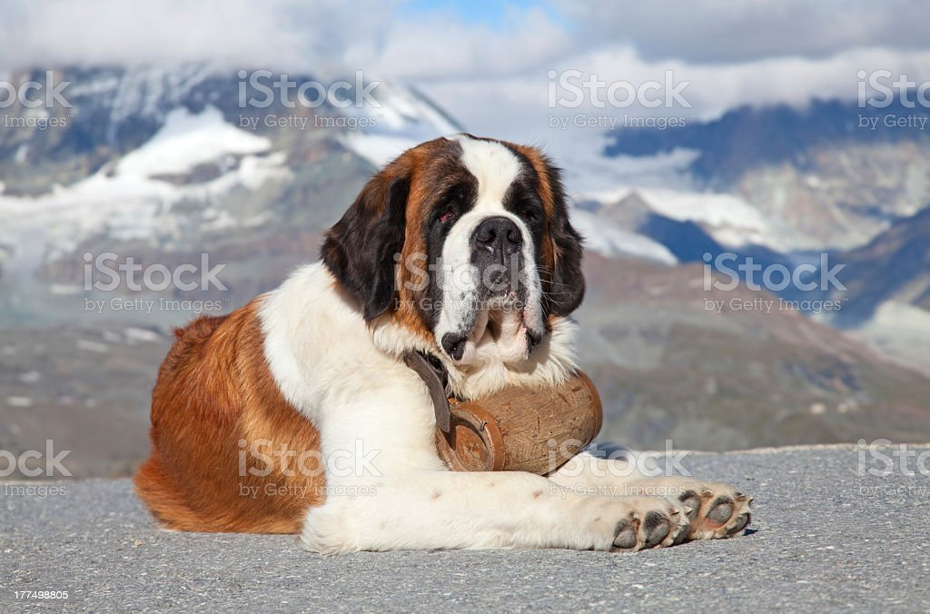 St. Bernard Dog sitting with a mountain background stock photo