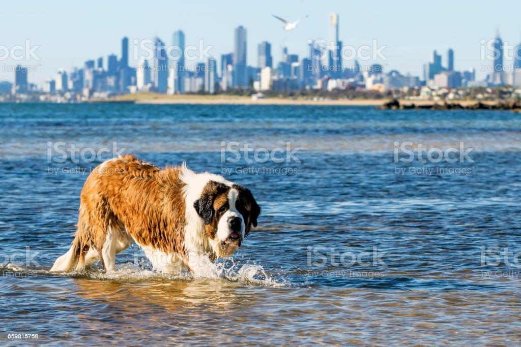 St Bernard Dog Swimming at Beach Melbourne Australia stock photo