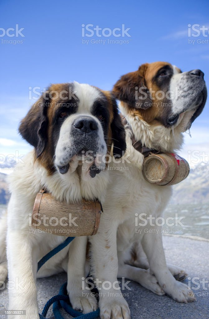 st Bernard dogs stock photo