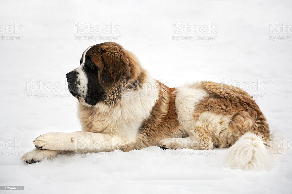 St Bernard in the Snow stock photo