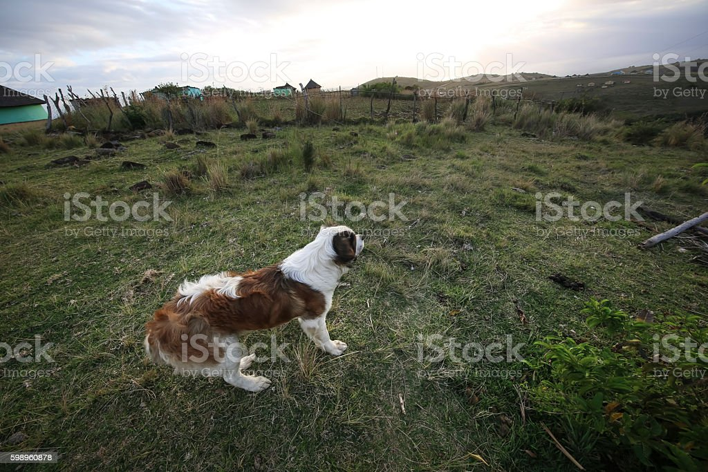 St Bernard stock photo