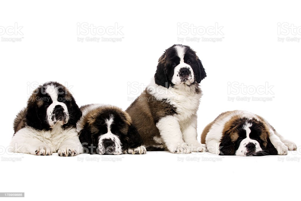 St Bernard puppies isolated on white royalty-free stock photo