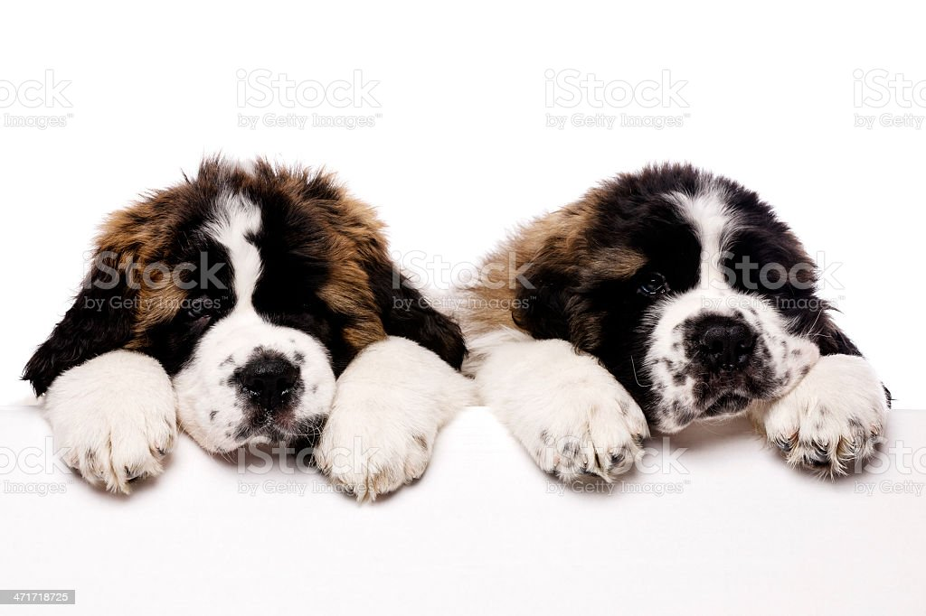 St Bernard puppies looking over a blank sign royalty-free stock photo
