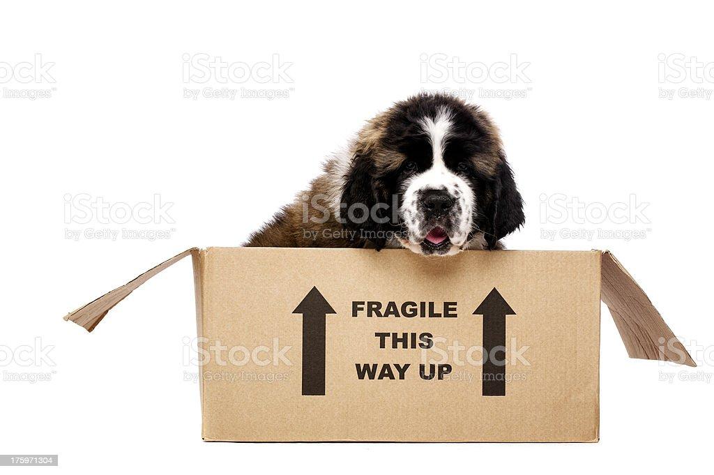 St Bernard puppy in a cardboard box royalty-free stock photo