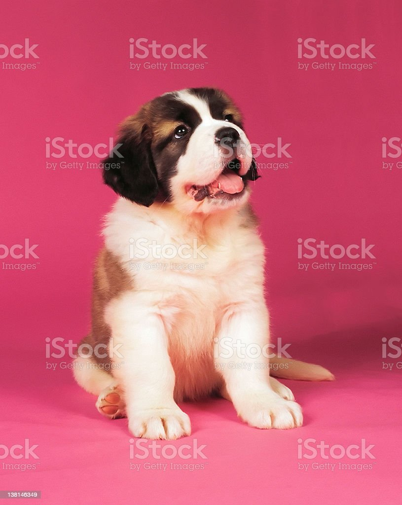 St. Bernard Puppy royalty-free stock photo