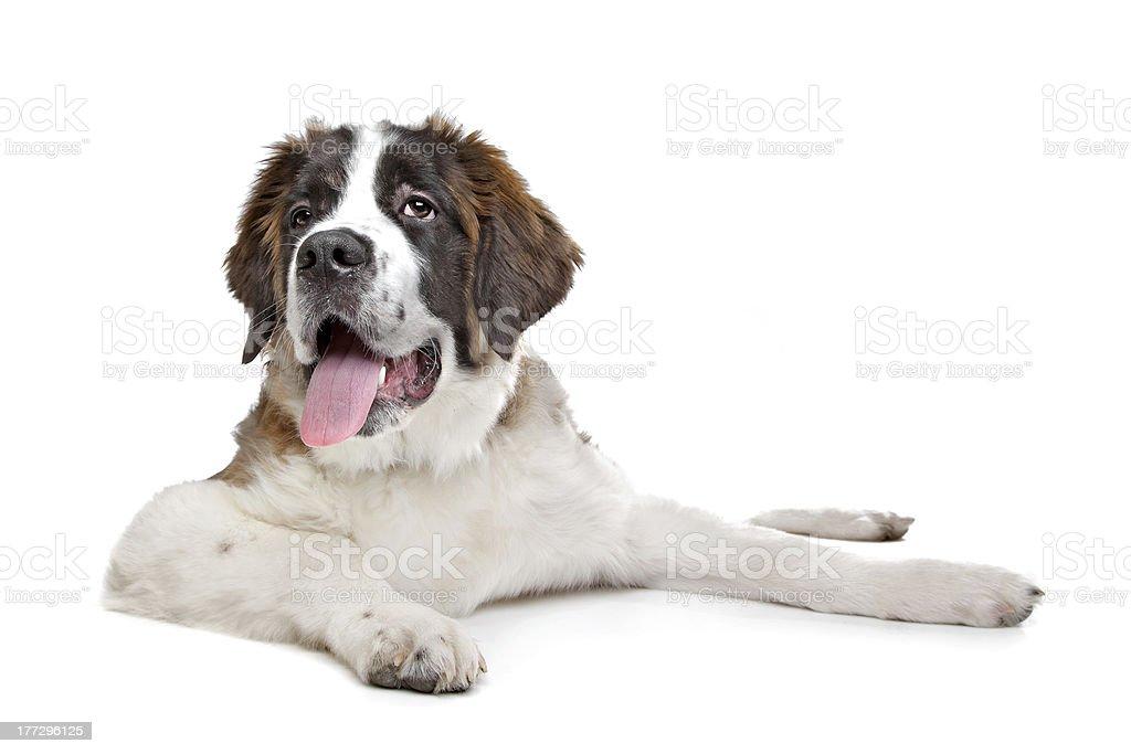 St Bernard puppy stock photo