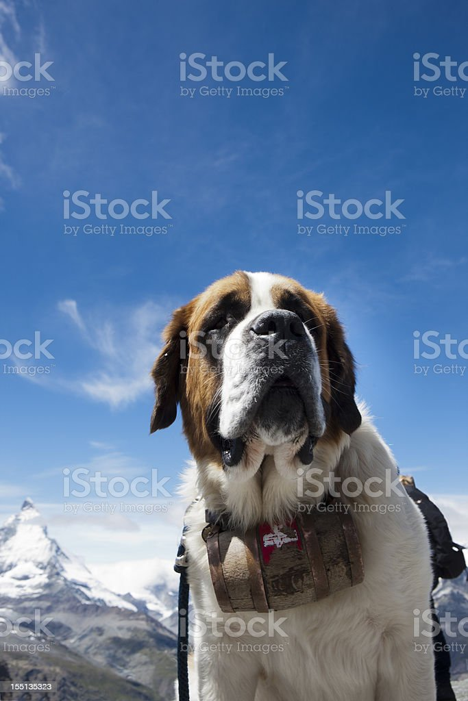 st bernhard dog stock photo