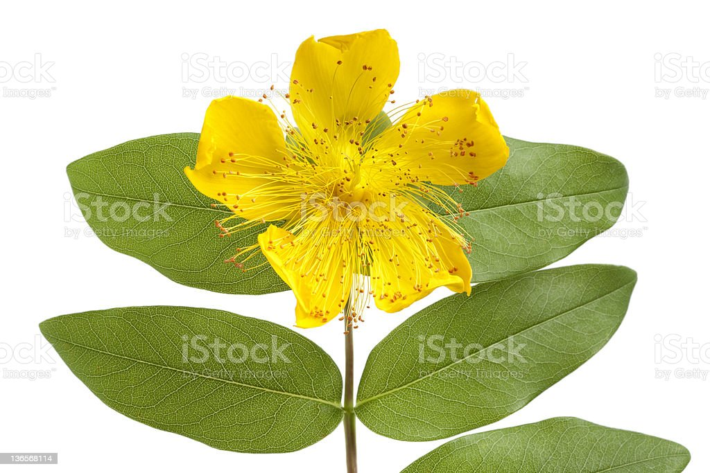 St John's wort flower and leaves royalty-free stock photo