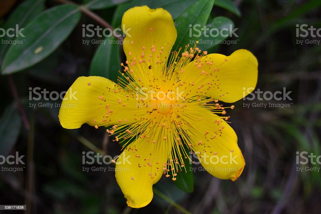 St John's wort flower macro photography stock photo
