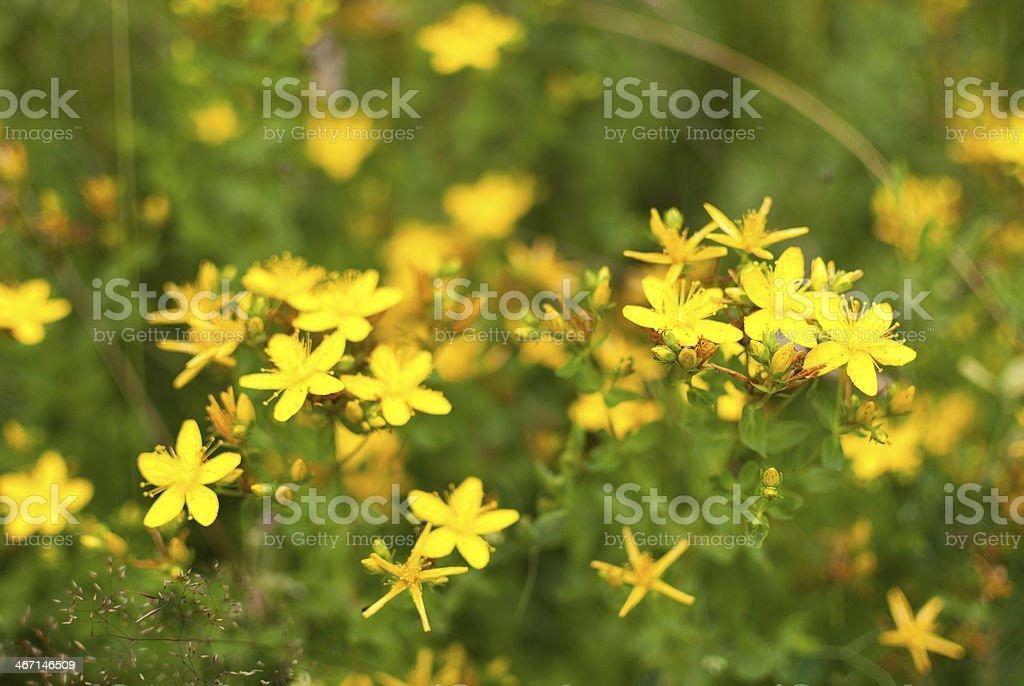 St. John's wort flower royalty-free stock photo