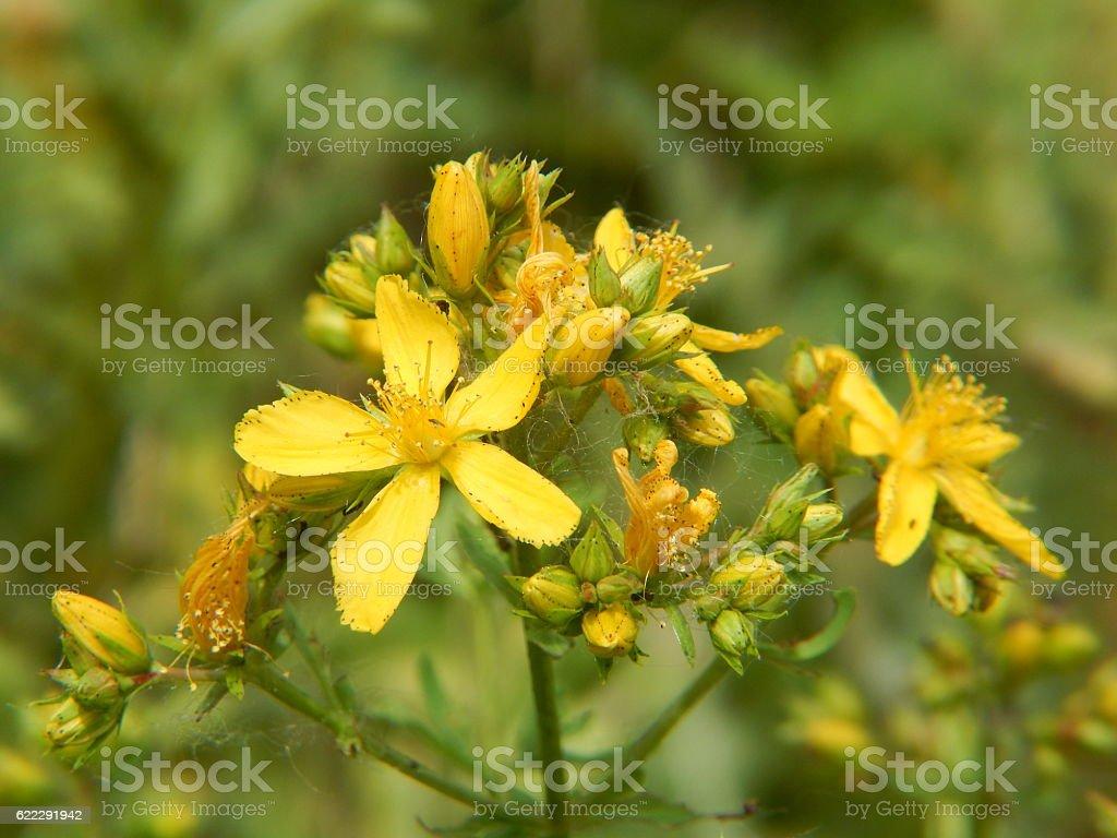 St. John's Wort Flowers in Bloom stock photo