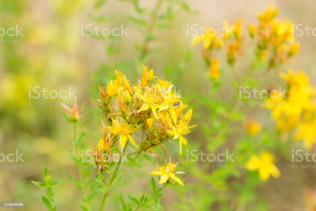 St Johns wort in bloom stock photo