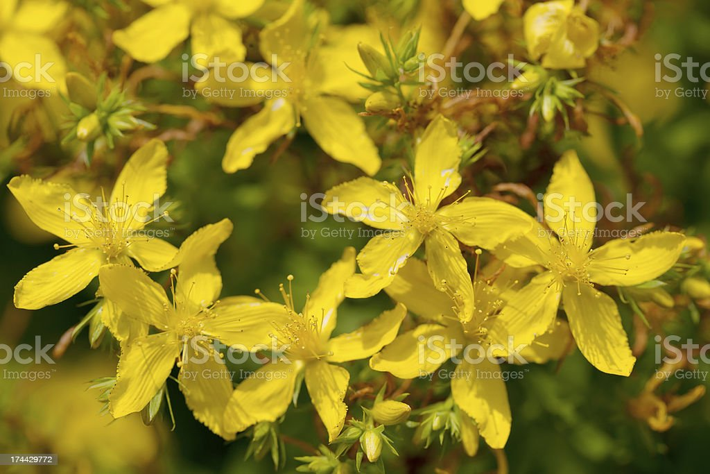 St. John's Wort (Hypericum perforatum) royalty-free stock photo