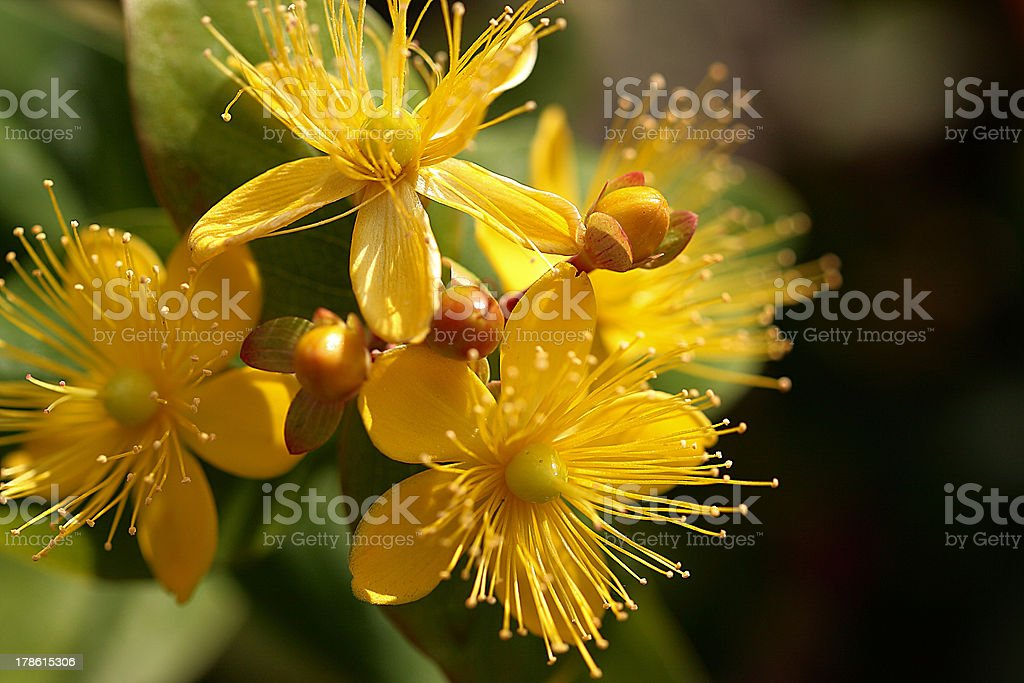 St. Johns wort royalty-free stock photo