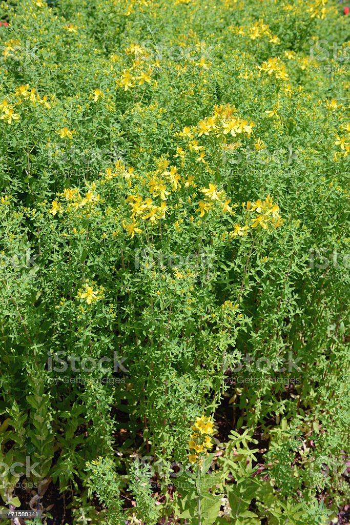 St John's wort (Hypericum perforatum) stock photo