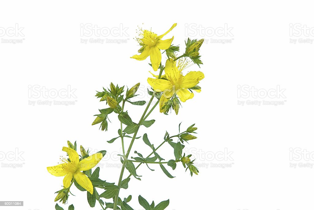 St John's wort plant with yellow flowers on white  royalty-free stock photo