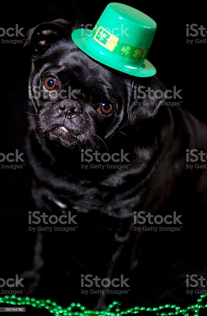 St. Patrick's Day Black Pug stock photo