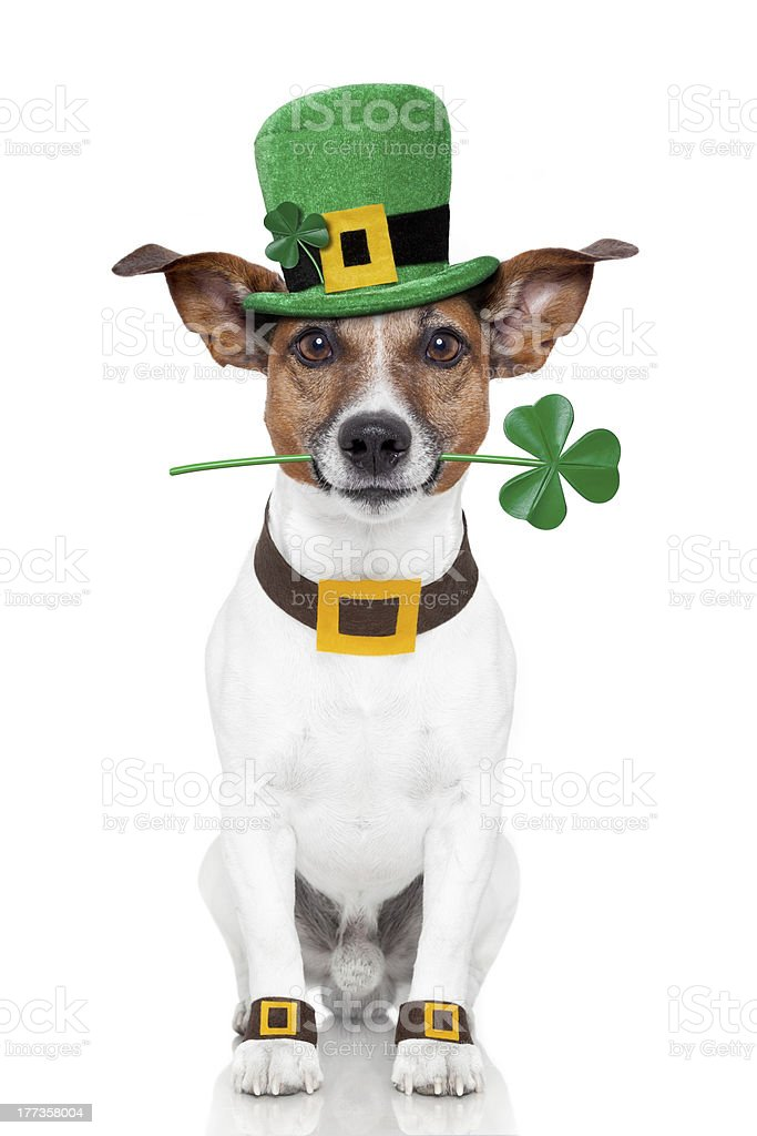 st. patrick's day dog stock photo