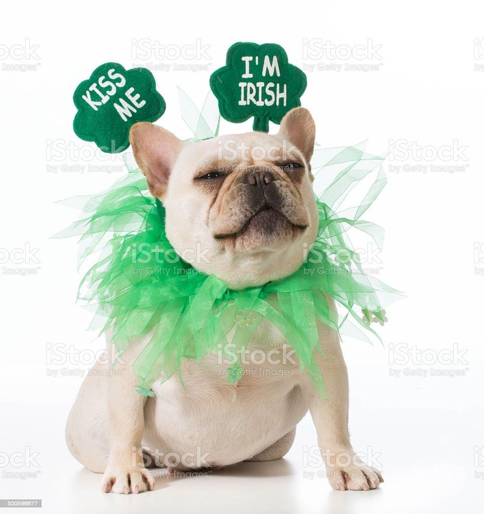 St Patricks Day dog stock photo