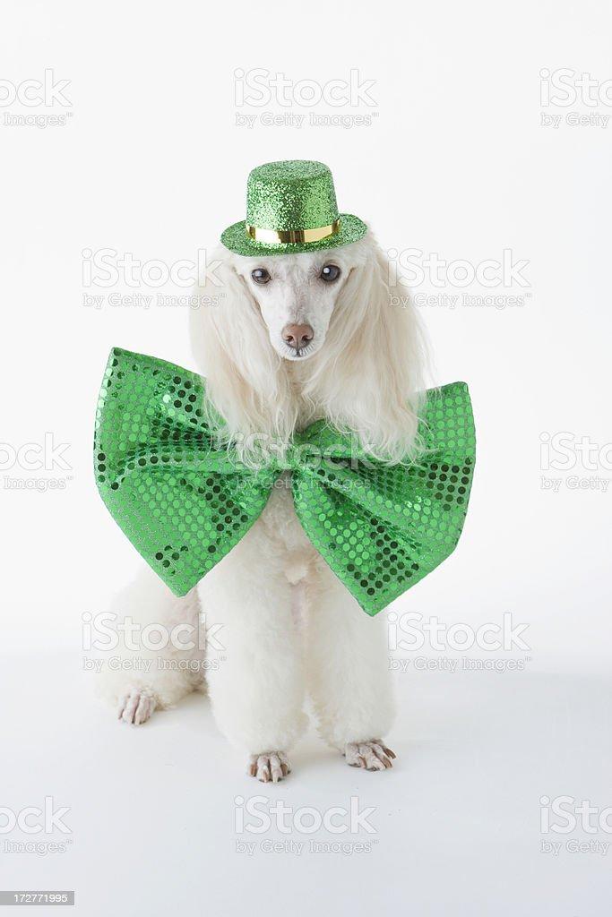 St. Patrick's Day Poodle - Holiday Leprechaun royalty-free stock photo