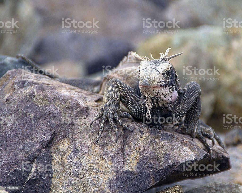 St Thomas Iguana stock photo