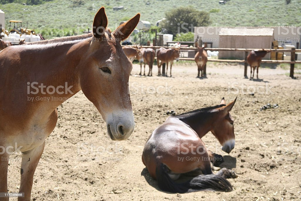 Stable animals royalty-free stock photo