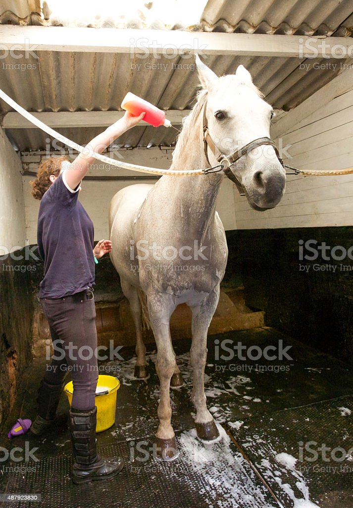 Stable employee washes horse down before showing stock photo