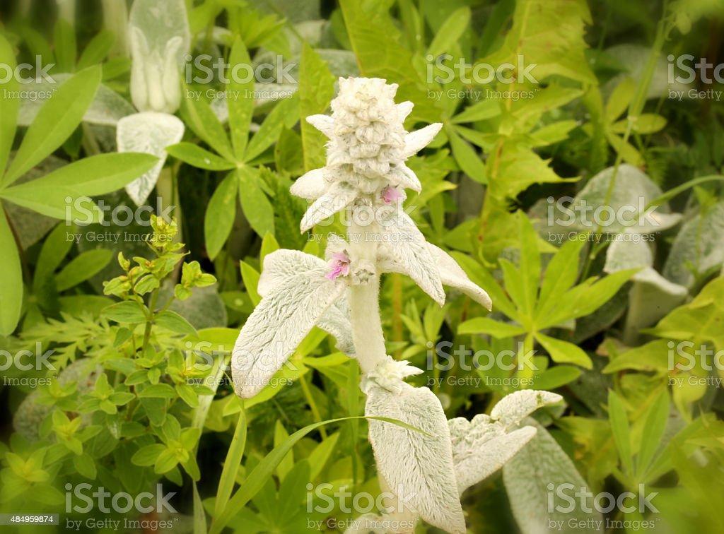 stachys Lanata stachys buzantyana garden ornamental plants stock photo