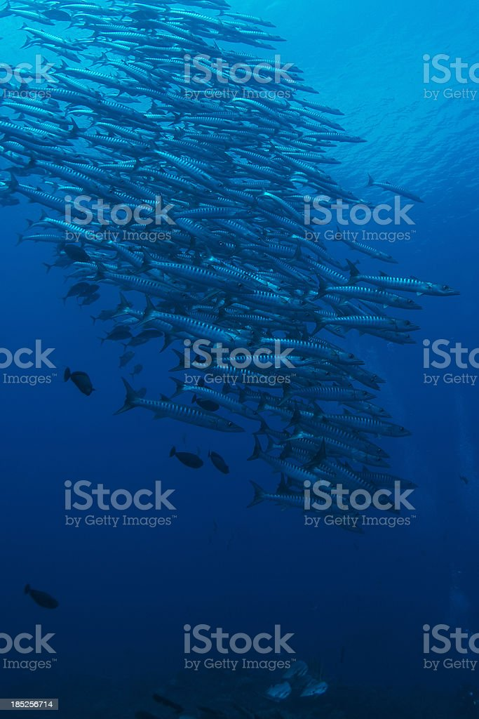 Stack of Barracuda stock photo