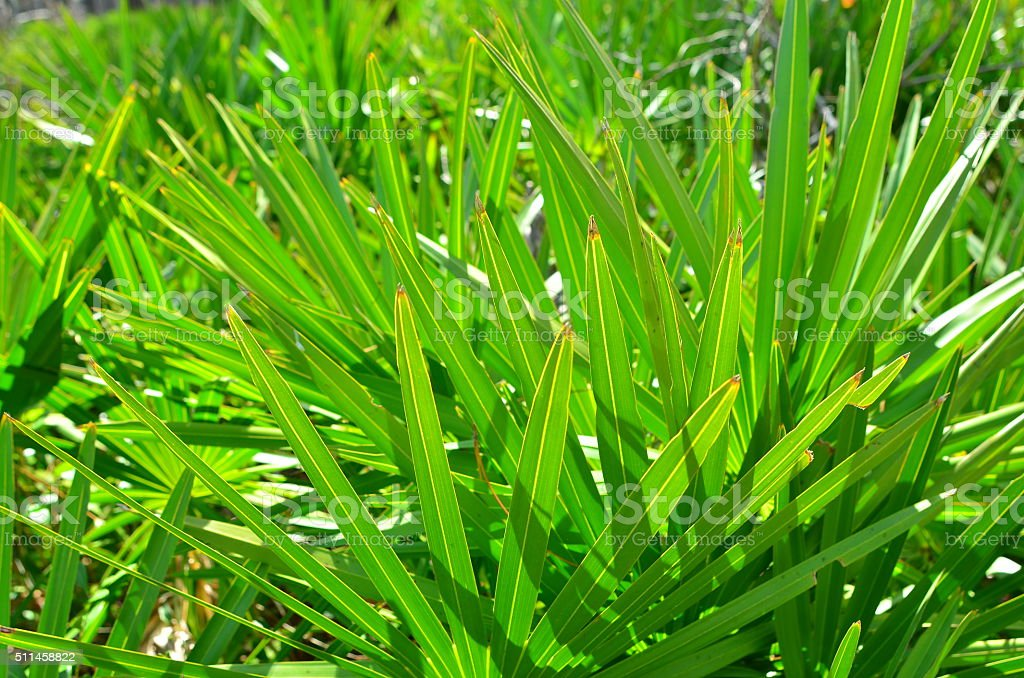 Stacked, backlit leaflets of Saw Palmetto in thicket stock photo